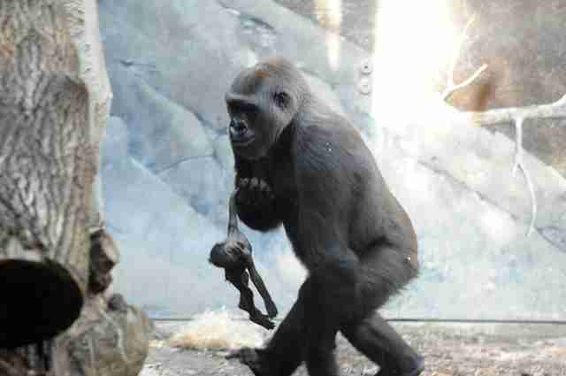 1236e3fdba54 Baby Gorilla Died In Zoo