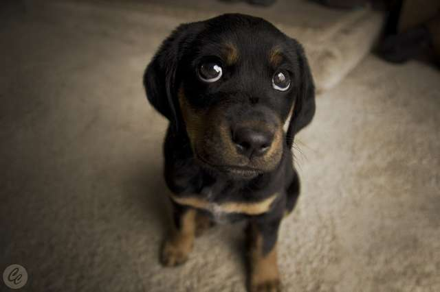 Research Reveals The Power Of Puppy Dog Eyes The Dodo