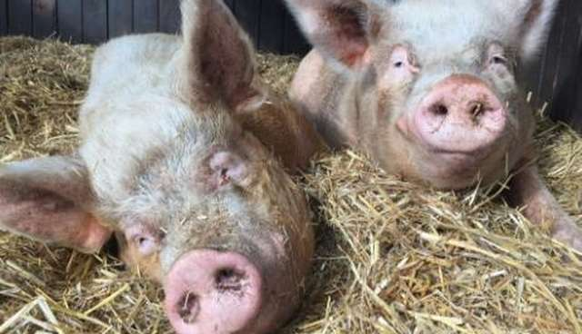 Pigs Who Starred In Charlottes Web Ended Up Spoiled Rotten