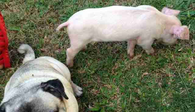 Piglet Rescued From Factory Farm Thinks She's A Dog Now