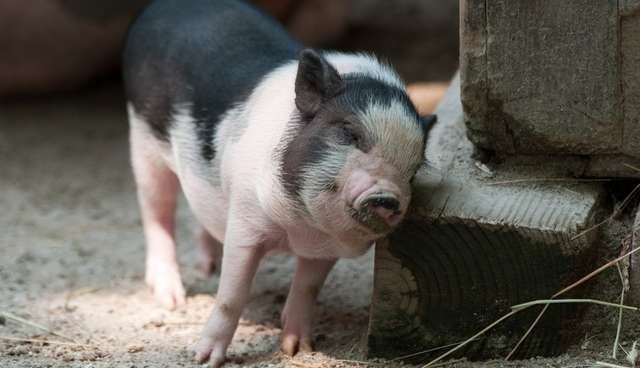 Do Teacup Pigs Really Exist