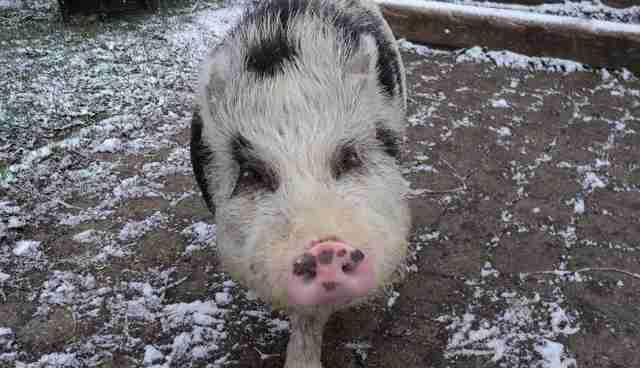Do Teacup Pigs Really Exist The Dodo
