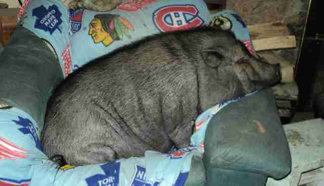Do Teacup Pigs Really Exist The Dodo - Adorable pig whos grown up with dogs believes shes a puppy too