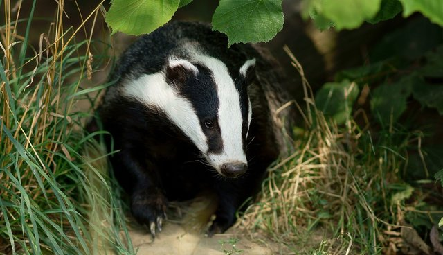 Badgers Are Killed To Fix A Problem They Didn't Cause