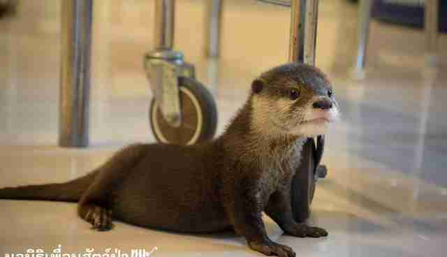 Rescued Baby Otter Could Not Be More Excited For Mealtime