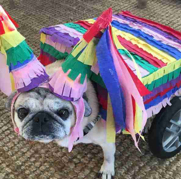pug in wheelchair gets fun outfits
