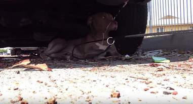 pit bull hit by car