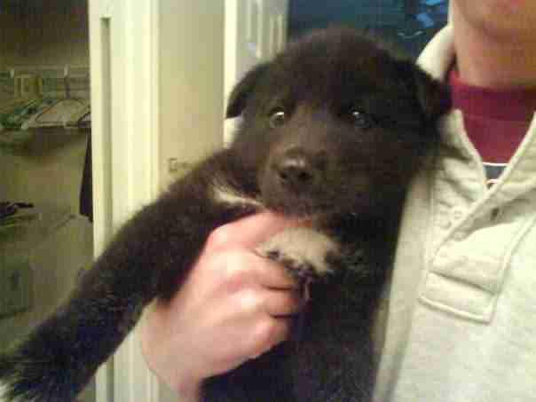 Shade as a wolf dog puppy