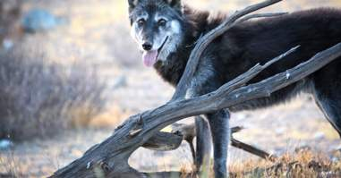 Shade the wolf dog at Wolf Connection sanctuary