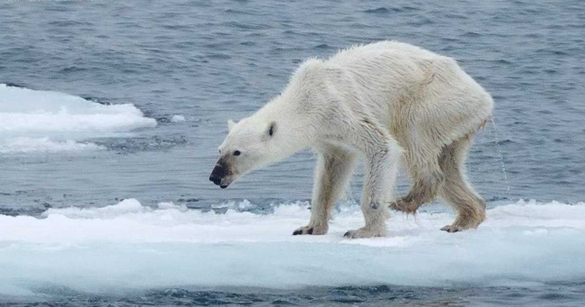 an analysis of the environmental adaptation of polar bears Predicting survival, reproduction and abundance of polar bears under climate change péter k molnára,b,, andrew e derocherb, gregory w thiemannc, mark a lewisa,b a centre for mathematical biology, department of mathematical and statistical sciences, university of alberta, edmonton, ab, canada t6g 2g1.