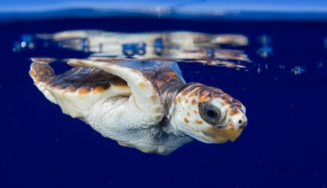 Photos Show Efforts To Track Endangered Baby Sea Turtles