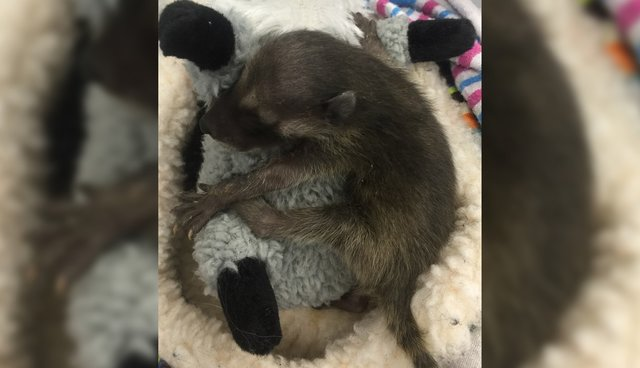 Baby Raccoon Who Lost Her Mom Clings To Her Stuffed Animal The Dodo
