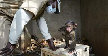 Orphaned baboon being rescued