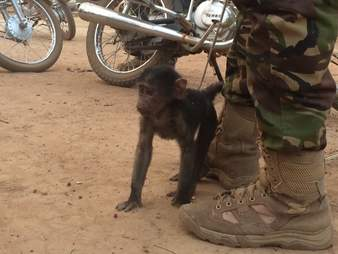 Orphaned baboon confiscated from poacher