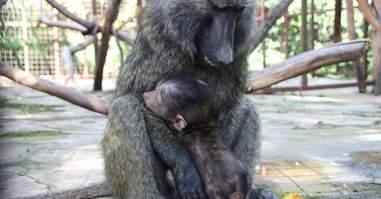 Orphaned baboon embracing older female baboon