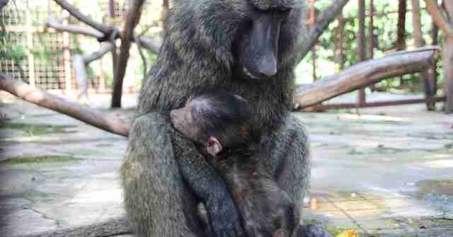 Orphaned baboon embracing older female baboon