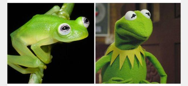 Scientists Discover Reallife Kermit The Frog Lookalike In Costa - Real life kermit the frog discovered in costa rica