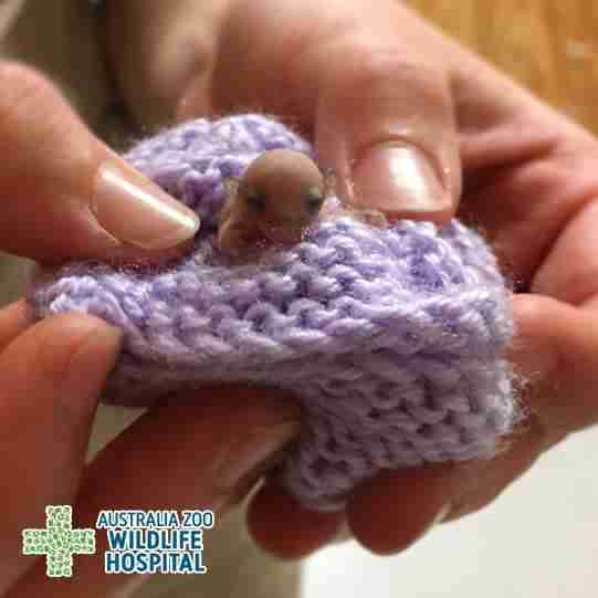 Patient Of The Week At Australia Zoo: Animal Hospital's Tiniest Patient Stays Cozy In A Little