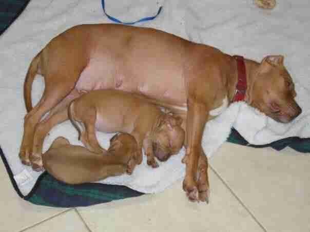Rescued pit bull with her two puppies