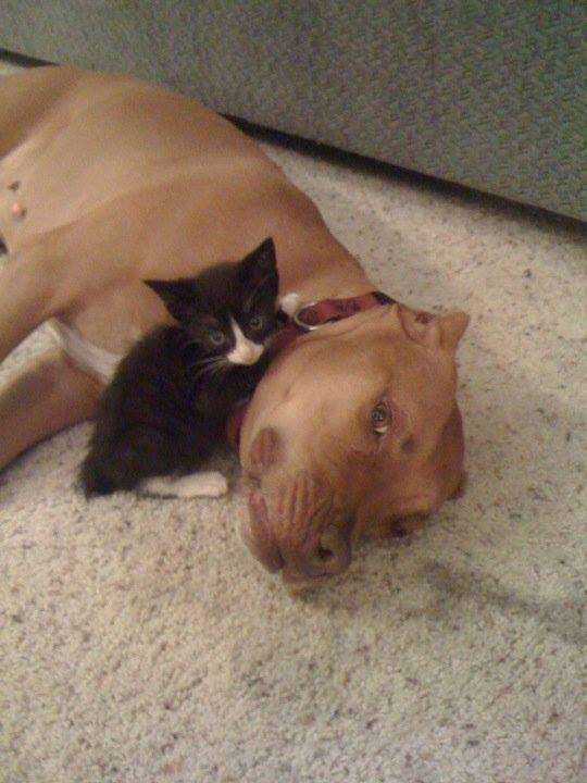 Pit bull and cat love