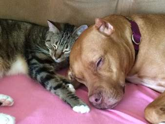 Cat and pit bull in love