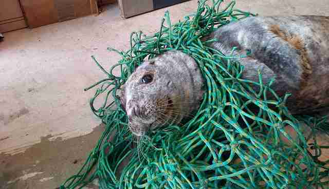 Image result for seal in fishing net