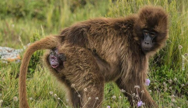 baby monkey dives into world face first - the dodo