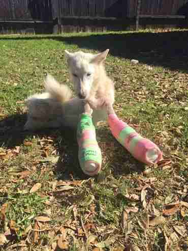 disabled dog elsa rose in her casts
