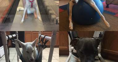 disabled dogs elsa rose and danali in physical therapy
