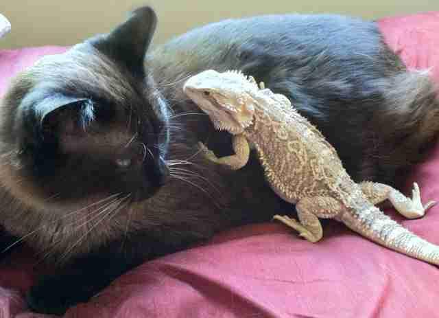 14 Cats Who Are Randomly Friends With Lizards The Dodo