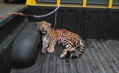 Injured baby jaguar in the back of a pickup truck