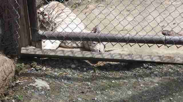 White tiger cub at DEW Haven, aka Yankee Jungle