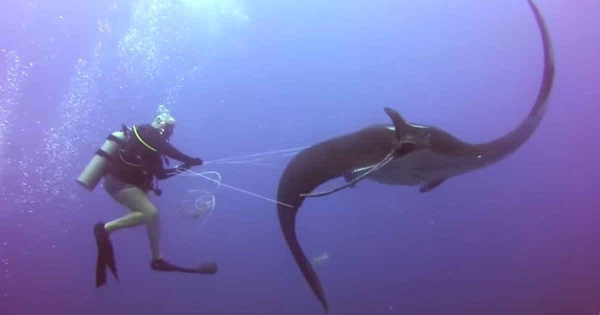 Diver Says Four Giant Manta Rays Tangled In Fishing Line Each