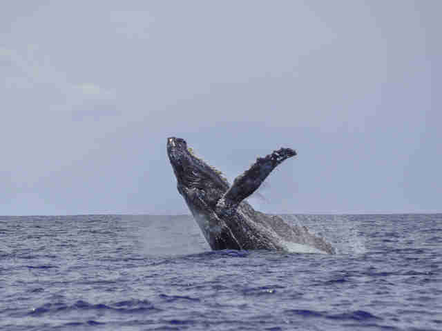 Humpback whale off the coast of Hawaii