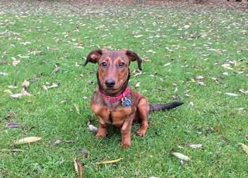 Deaf dachshund mix outside on a walk