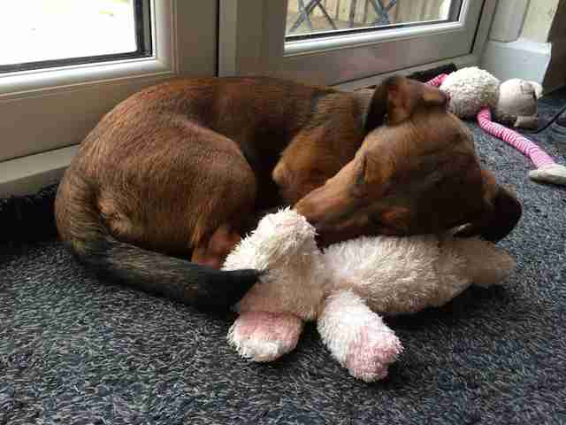 Deaf shelter dog snuggling with stuffed animal