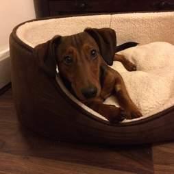 Deaf shelter dog in dog bed