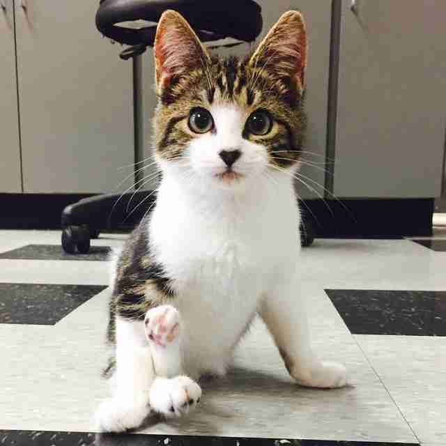 Willie, a kitten who was paralyzed at birth