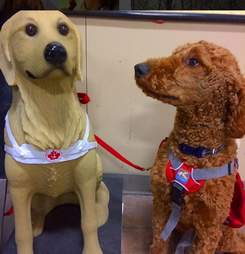 service dog looking at fake service dog