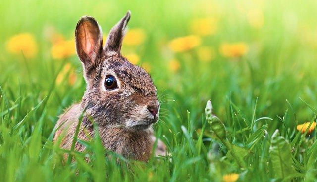 Rabbits resurrections true story easter
