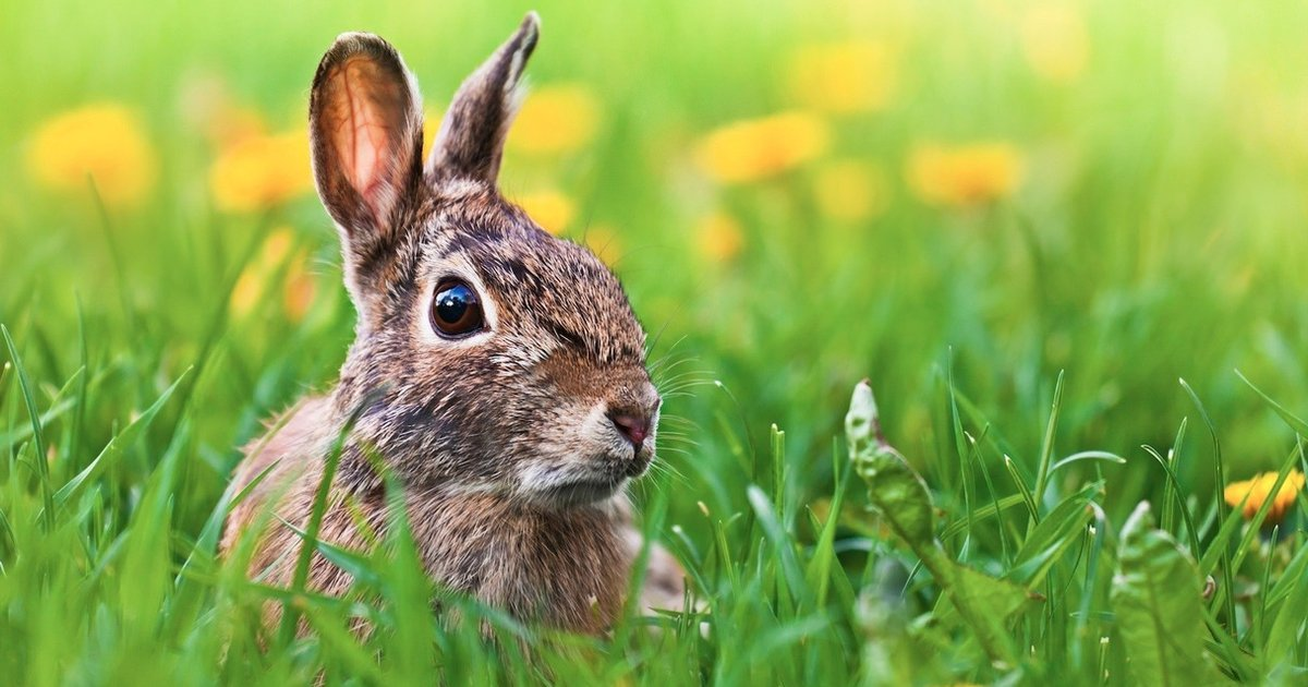 What Does A Bunny Have To Do With Easter The Dodo