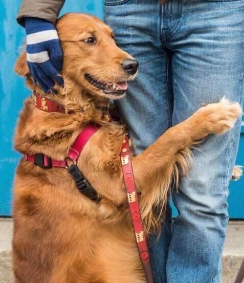 Golden retriever dog giving a hug in New York City