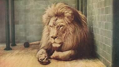 Zoo-ed Lion
