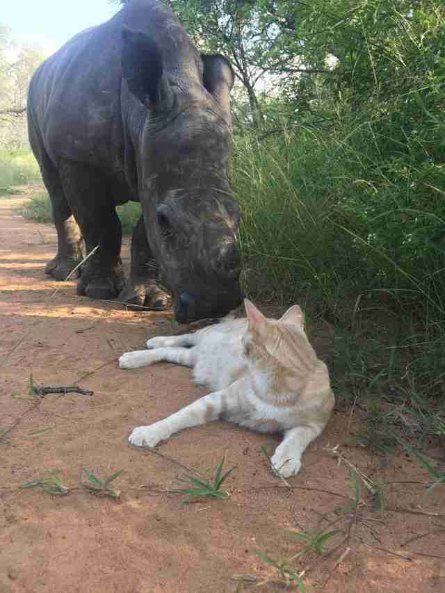 Rhino saying hi to cat friend