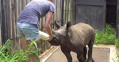 Nandi, the rhino who lost his mom to poachers, gets bottlefed after his rescue
