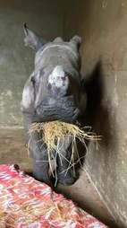 Orphaned rhino, Nandi, eating hay at the orphanage