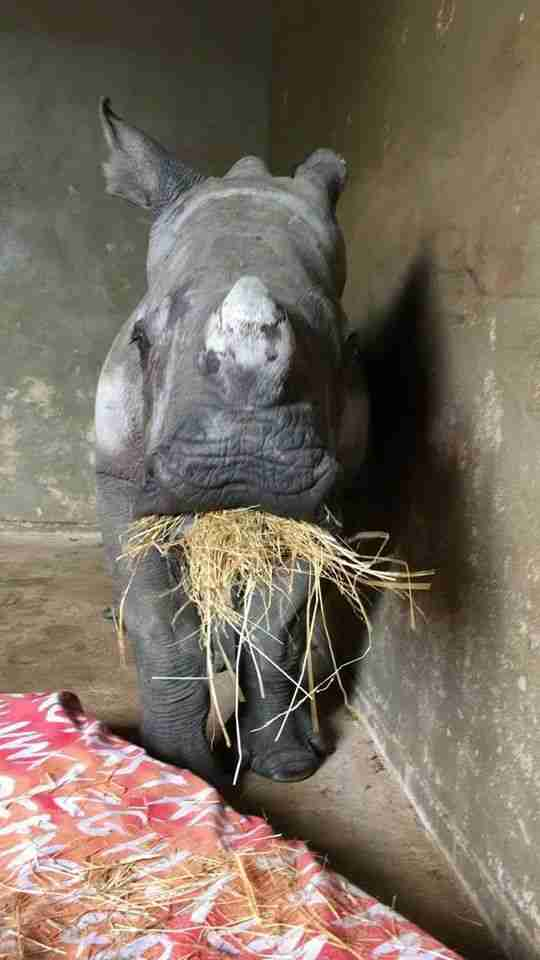 Orphaned rhino, Nandi, eating hay at the orphanage