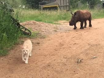 Mewie the cat leading Nandi the rhino on a walk