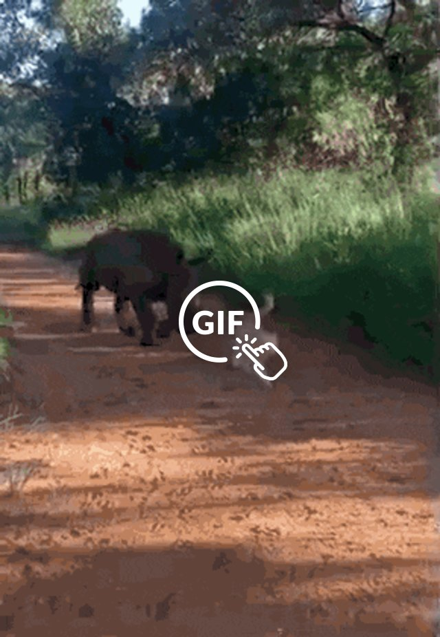 Rhino and cat explore the South African rescue orphanage together