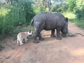 Rescue cat follows orphaned rhino
